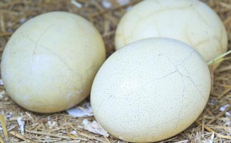 Strusie jajo - co warto o nim wiedzieć