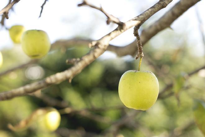 Jabłka kosztele - jak smakują i do czego się nadają?
