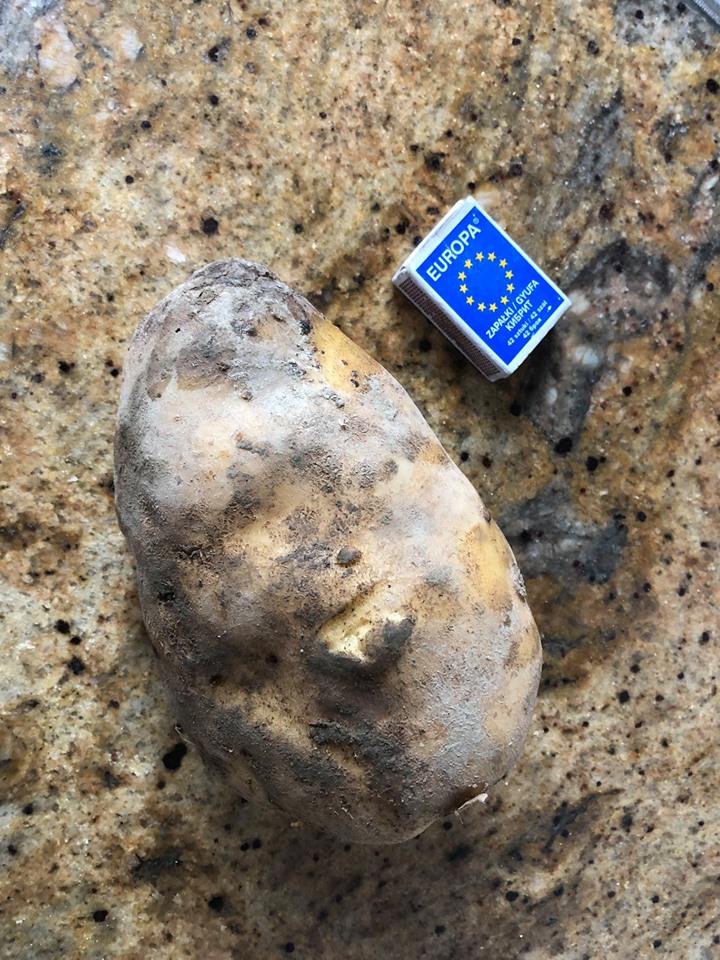Gigantycznego ziemniaka wykopano koło Nowego Sącza